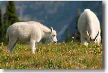 Rainier Mountain Goats