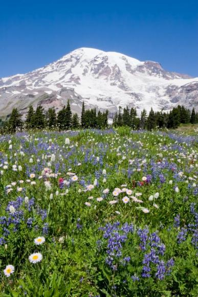Rainier Wildflowers - All Rights Reserved